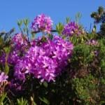 Rhododendron growing along the Connemara Loop