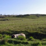 Sheep grazing on blanket bog on the Connemara Loop